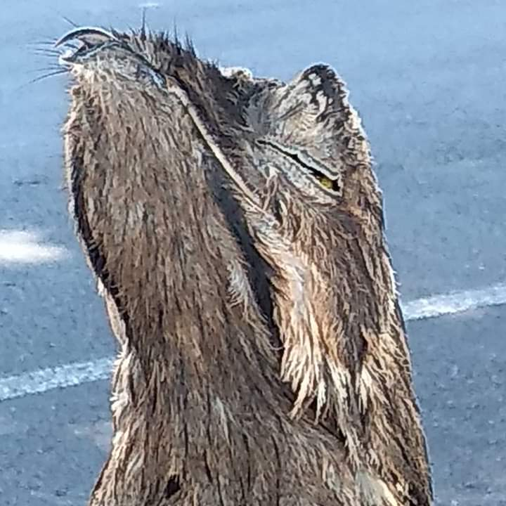 Avis-rara-de-habito-noturno-Urutau